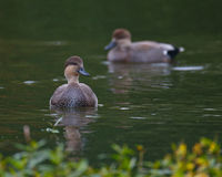 Gadwall Ducks Royalty Free Stock Photos