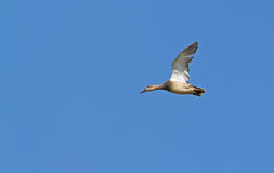 Gadwall in flight Stock Images