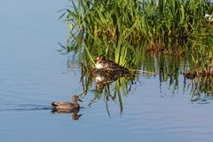 Gadwall and a Great crested grebe. Gadwall swim past a Great crested grebe at a birdnest Royalty Free Stock Images
