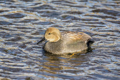 Gadwall. A gadwall in the lake Stock Photography