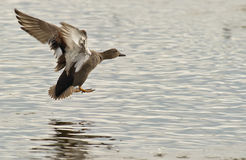 A Gadwall landing on water. A male Gadwall prepares for landing on the surface of one of the numerous lagoons at the nature reserve of Aiguamolls del Emporda Royalty Free Stock Image