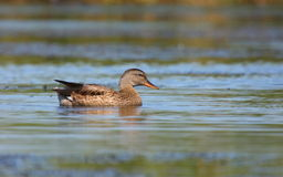 Gadwall male Stock Photo