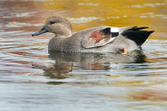 Gadwall Stock Photography