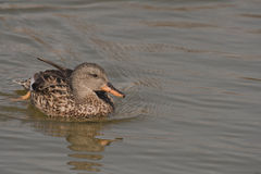 Gadwall Royalty Free Stock Photos