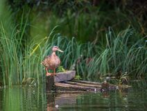 Gadwall stands on orange legs on a floating wooden pallet. Gadwall stands on orange legs on a floating wooden pallet and looks at the camera Royalty Free Stock Photography