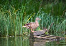 Gadwall stands on orange legs on a floating wooden pallet. Side. Gadwall on a wooden pallet on a background of typha. Side view Royalty Free Stock Photos