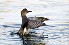 Gadwall Stretching Its Wings on the Water Stock Photography
