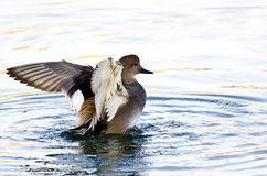 Gadwall Stretching Its Wings on the Water Stock Images