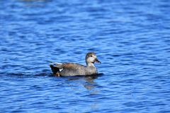 Gadwall swimming on the lake. royalty free stock photography
