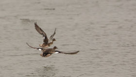 Gadwalls in flight Stock Image
