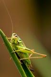 Gafanhoto Imagem de Stock Royalty Free