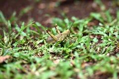 Gafanhoto arborizado de Brown fotos de stock