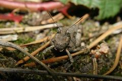 gafanhoto Azul-voado (caerulescens de Oedipoda) Foto de Stock Royalty Free