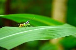Gafanhoto bonito em uma folha verde Fotografia de Stock Royalty Free