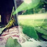 Gafanhoto bonito que espreita perto do vidro Foto de Stock