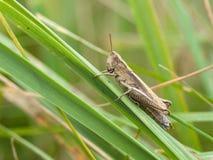 Gafanhoto do campo comum (brunneus de Chorthippus) Fotografia de Stock Royalty Free