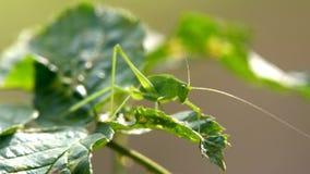 Gafanhoto do inseto na grama filme