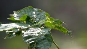 Gafanhoto do inseto na grama video estoque