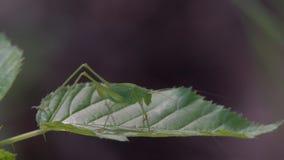 Gafanhoto do inseto na grama vídeos de arquivo