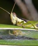 Gafanhoto e aranha Imagem de Stock Royalty Free