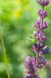 Gafanhoto e flor Foto de Stock