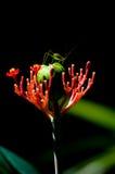 Gafanhoto em uma flor Imagens de Stock