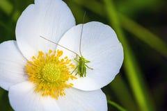 Gafanhoto em uma flor Fotos de Stock Royalty Free