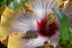 Gafanhoto em uma flor Fotografia de Stock Royalty Free