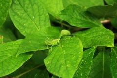 Gafanhoto em uma folha verde e contra o contexto do verde imagens de stock royalty free
