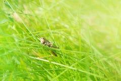 Gafanhoto marrom pequeno que senta-se em uma lâmina de grama no beautifu Foto de Stock Royalty Free
