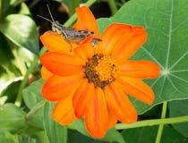 Gafanhoto na flor alaranjada vibrante Fotografia de Stock