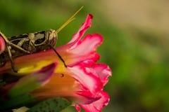 Gafanhoto na flor cor-de-rosa imagens de stock