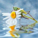 Gafanhoto na flor da margarida Foto de Stock
