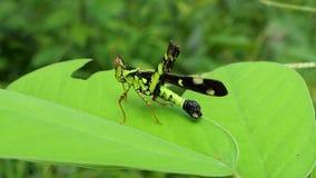 Gafanhoto na folha na floresta tropical tropical filme