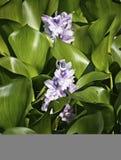 Gafanhoto no hyacinth de água Imagem de Stock