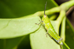 Gafanhoto pequeno verde que relaxa Imagens de Stock Royalty Free