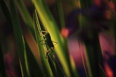 Gafanhoto verde Imagem de Stock Royalty Free