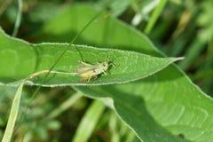 gafanhoto verde do inseto escondido na grama imagem de stock royalty free