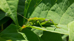 Gafanhoto verde em uma folha Imagens de Stock Royalty Free
