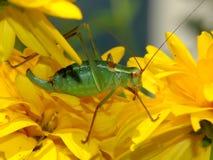 Gafanhoto verde nas flores amarelas brilhantes na mola Imagem de Stock
