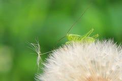 Gafanhoto verde no dente-de-leão Imagem de Stock