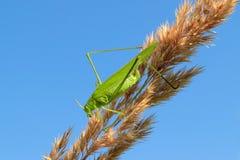 Gafanhoto verde que senta-se em uma lâmina de grama, contra o céu azul Imagens de Stock