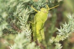 Gafanhotos que permanecem em uma planta, Acrididae Foto de Stock