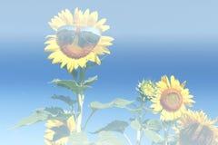 Gafas de sol del parte movible del girasol Foto de archivo libre de regalías