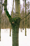 Gaffel av ett träd Arkivfoton