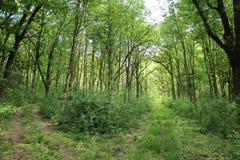 Gaffel i en skogväg Arkivbilder