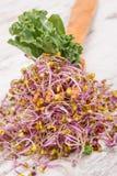 Gaffel med spirade grönkålfrö och sidor av grönsaken Sund livsstil och n?ring royaltyfri foto