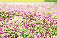 Gaffelbenblomma, Bluewings, Torenia Royaltyfri Fotografi