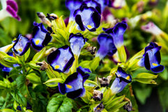 Gaffelbenblomma, Bluewings, Torenia backgroung Arkivbilder