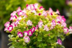 Gaffelbenblomma & x28; Torenia fournieri& x29; i trädgård Royaltyfria Bilder